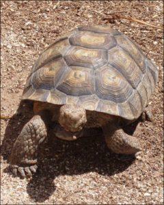 Sage Walnut Tortoise